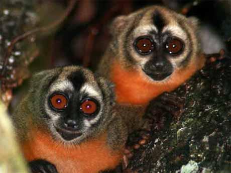 douroucouli-northern-owl-monkey-aotus-trivirgatus_9