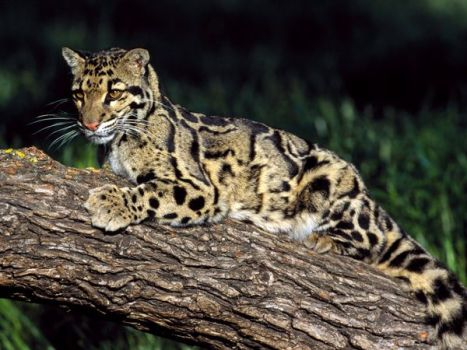 clouded-leopard_499_600x450
