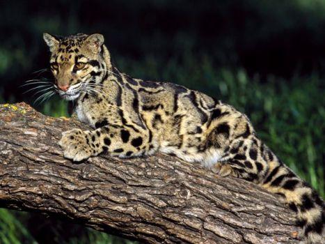 clouded-leopard_499_600x450