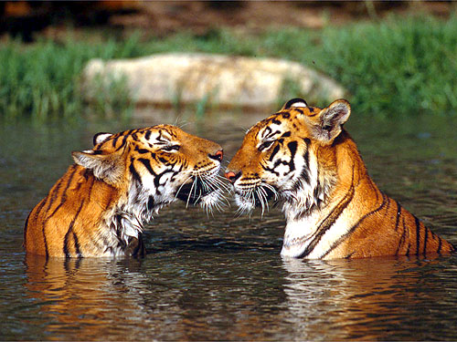 Panthera tigris tigris Indian tigers in the water, facing each other