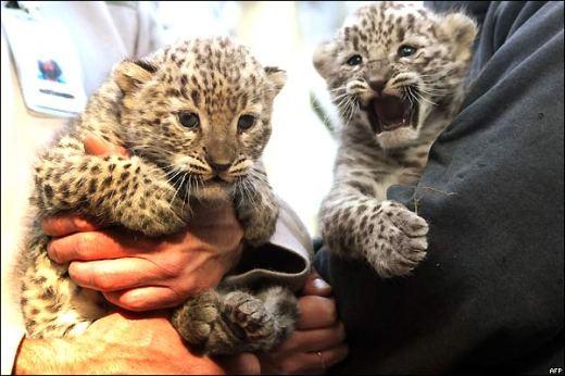 leopardos-de-persia